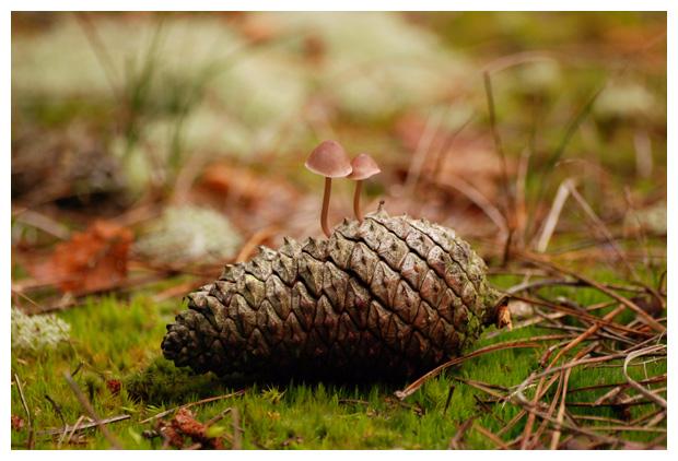 foto's, Zeedenmycena (Mycena seynesii), paddenstoel