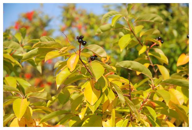 foto's, Amerikaanse vogelkers of bospest (Prunus serotina)