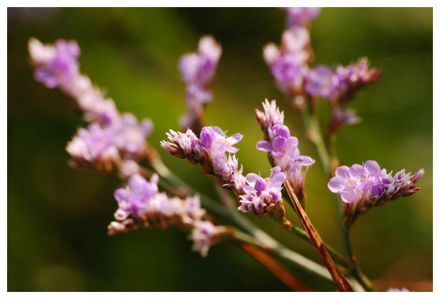 foto's, Lamsoor (Limonium vulgare), plant