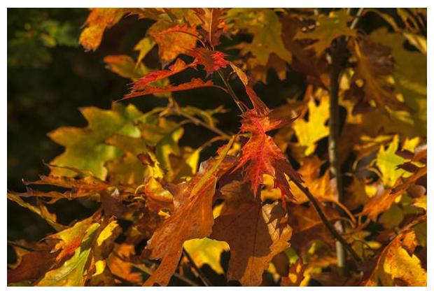 foto, Amerikaanse eik (Quercus rubra), boom