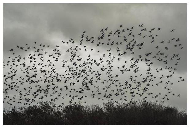 foto's, Gewone spreeuw (Sturnus vulgaris), vogel