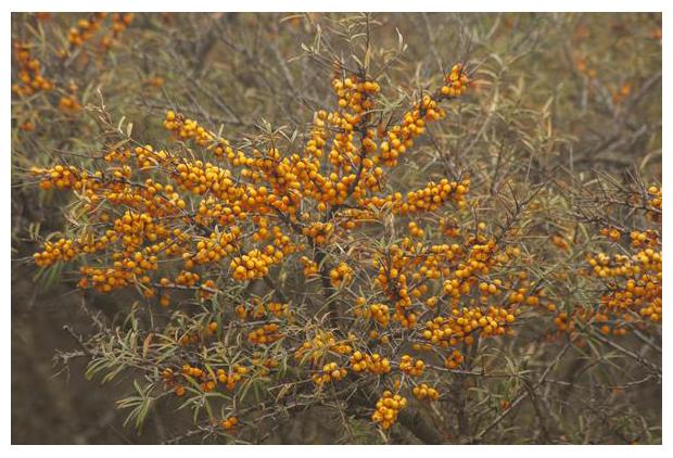 foto's, Duindoorn (Hippophae rhamnoides)