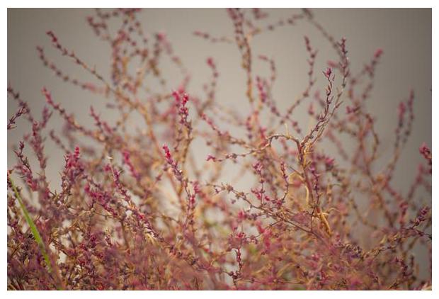 foto´s, Klein schorrenkruid (Suaeda maritima), zoutminnende plant