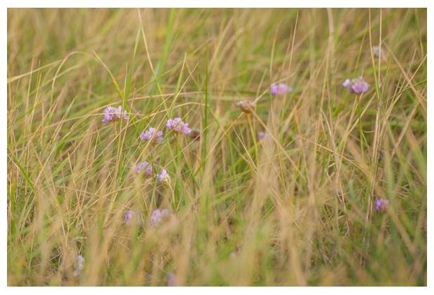 foto´s, Engels gras (Armeria maritima), zoutminnende plant