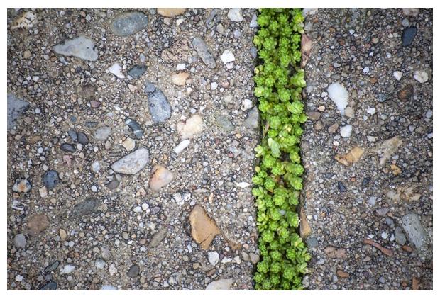 foto's, Muurpeper (Sedum acre), vetplant