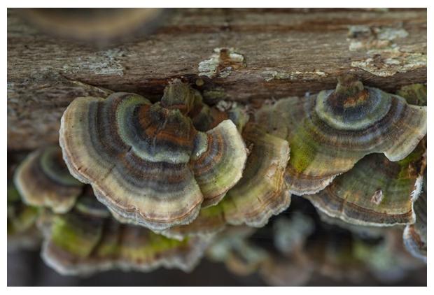 foto's, Gewoon elfenbankje (Trametes versicolor), paddenstoel