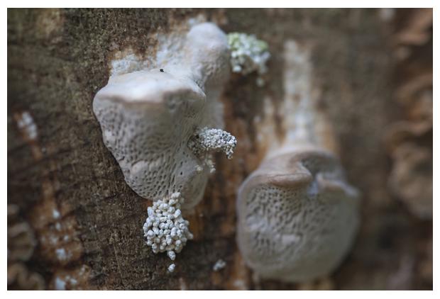 foto's, Witte bultzwam (Trametes gibbosa), paddenstoel