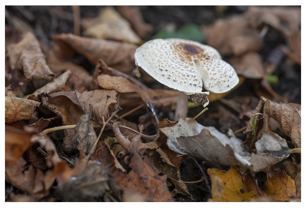 foto's, Stinkparasolzwam (Lepiota cristata), paddenstoel