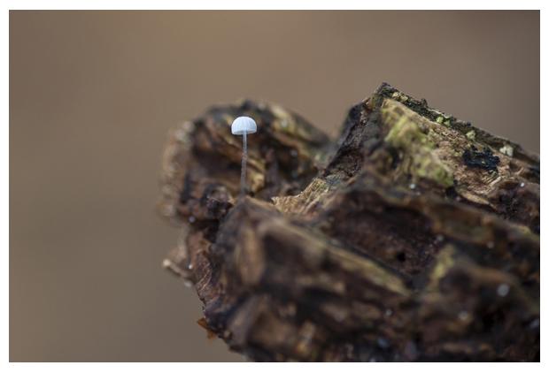 foto's, Suikermycena (Mycena adscendens), paddenstoel
