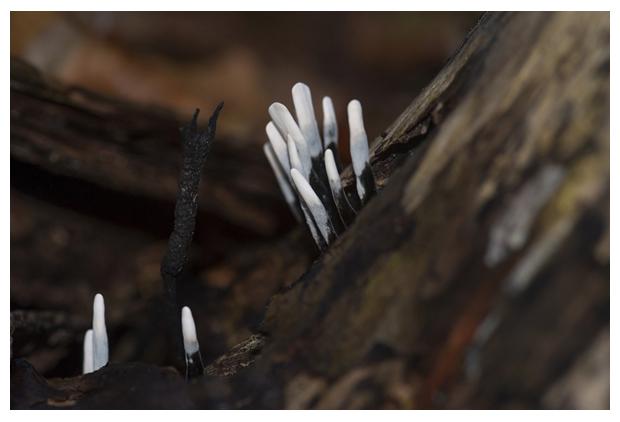 foto´s, Geweizwam (Xylaria hypoxylon), paddenstoel