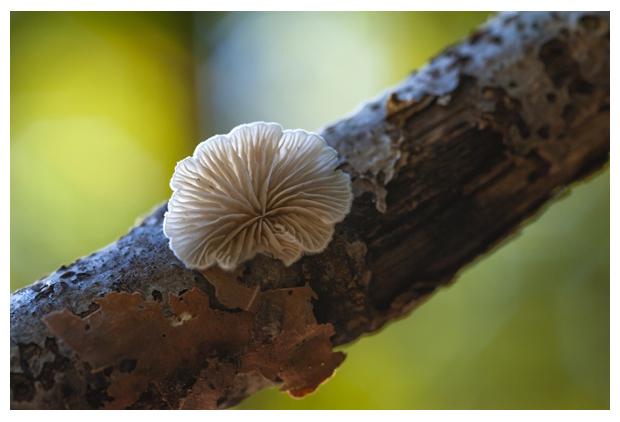 foto, Oorzwammetje (Crepidotus spec.), witte paddenstoel