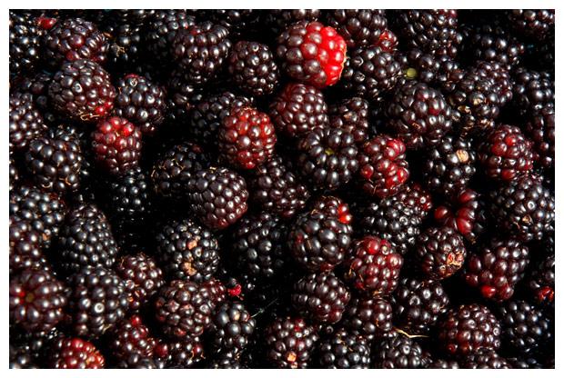 gewone braam of bosbraam (rubus fruticosus), wilde, eetbaar