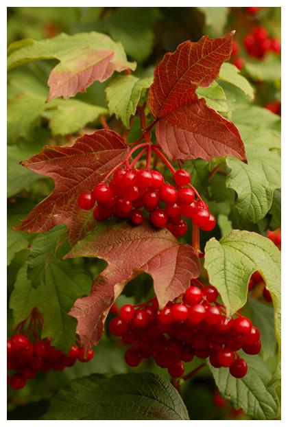 gelderse roos (viburnum opulus), muskuskruidfamilie (adoxaceae), sneeuwbal (viburnum), randbloemen, vaste, rode giftige vruchten, besjes