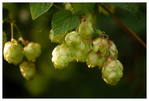 foto's, Hop (Humulus lupulus), plant