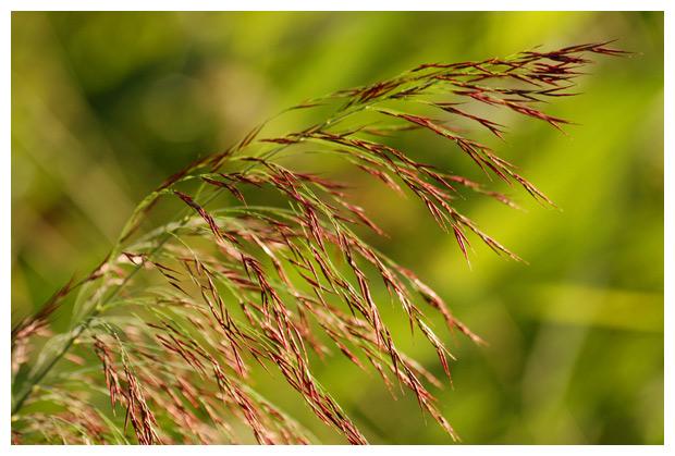 riet echt riet (phragmites australis syn. phragmites communis), rieten, rietjes, rietfoto's, rietfoto´s, plant, planten, plantenfotos, plantfoto´s, vasteplant