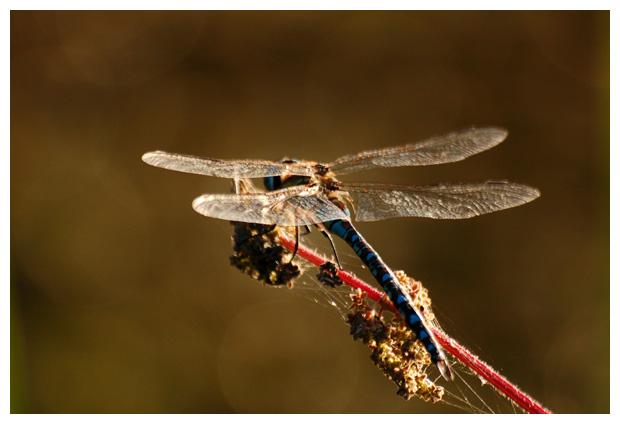 foto's, Grote keizerlibel, libel