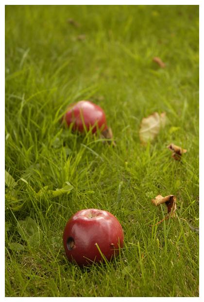 appel (malus), appels, appeltje, rode vrucht