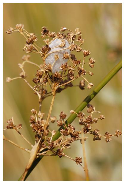 foto´s, Paddenrus (Juncus subnodulosus), gras