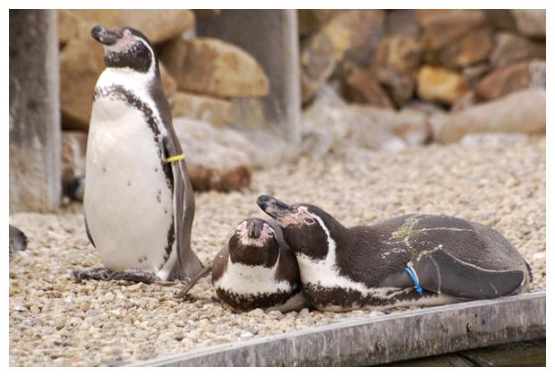 foto's, Humboldt-pinguïn (Spheniscus humboldti), pinguïn