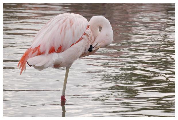 foto's, Gewone of Europese flamingo (Phoenicopterus roseus), vogel