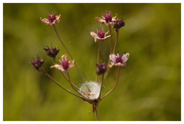 foto's, Zwanenbloem (Butomus umbellatus), plant