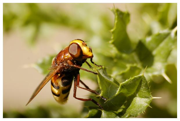 stadsreus (volucella zonaria), hoornaarzweefvlieg