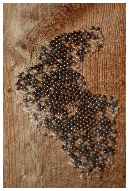 foto's, Grote beervlinder of grote beer (Arctia caja), nachtvlinder