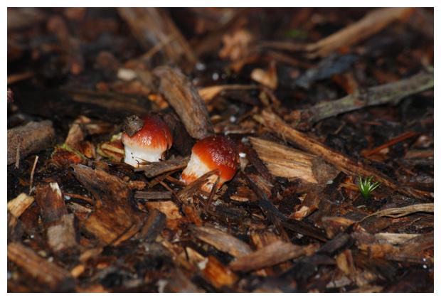 foto's, Oranjerode stropharia (Stropharia aurantiaca, Psilocybe aurantiaca), paddenstoel