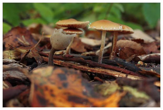 foto´s, Gewoon donsvoetje (Tubaria furfuracea), paddenstoel