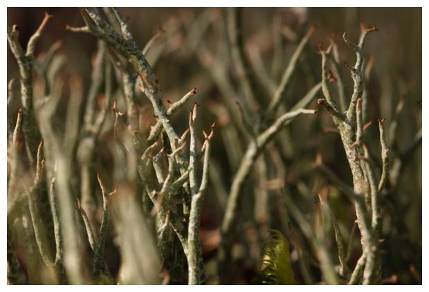 foto´s, Gevorkt heidestaartje (Cladina furcata), korstmos