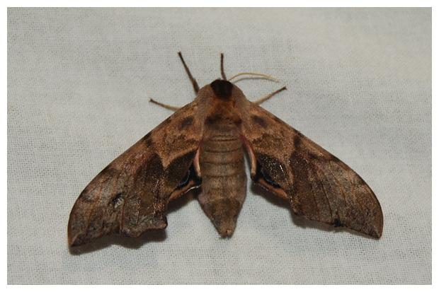 foto's, Pauwoogpijlstaart of Avondpauwoog (Smerinthus ocellatus), nachtvlinder