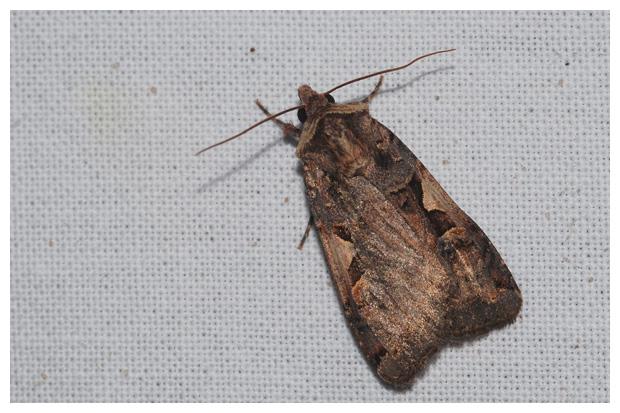 foto's, Zwarte-c-uil (Xestia c-nigrum), nachtvlinder