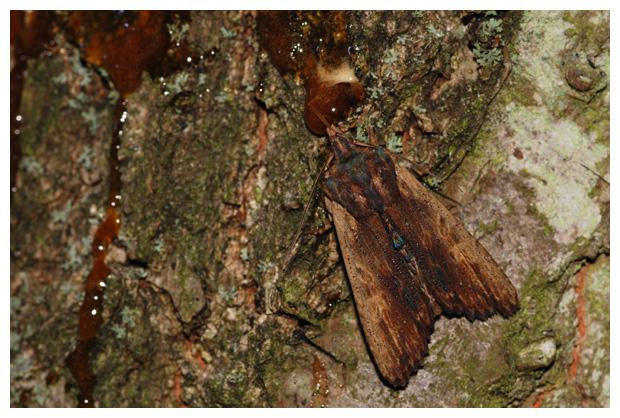 foto´s, Bruine essenuil (Lithophane semibrunnea), nachtvlinder