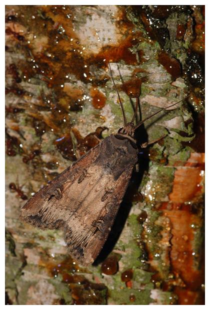 foto´s, Grote worteluil (Agrotis ipsilon), nachtvlinder