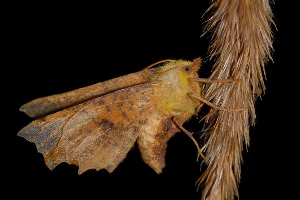 foto's, Geelschouderspanner (Ennomos alniaria), nachtvlinder