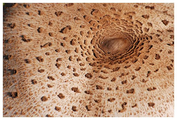 foto's, Grote parasolzwam (macrolepiota procera), paddenstoel
