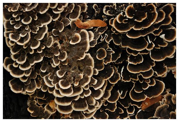 foto Gewoon elfenbankje (Trametes versicolor), paddenstoel