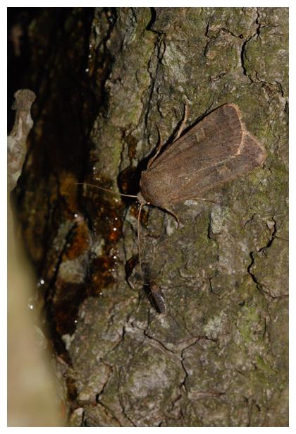 foto's, Vierkantvlekuil (Xestia c-nigrum), nachtvlinder