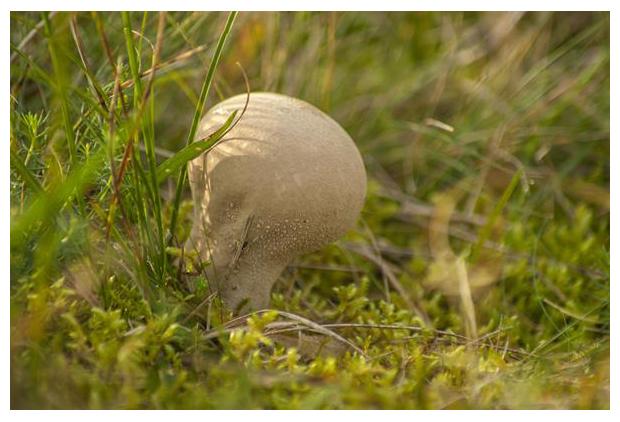 foto´s, Plooivoetstuifzwam (Calvatia excipuliformis), paddenstoel