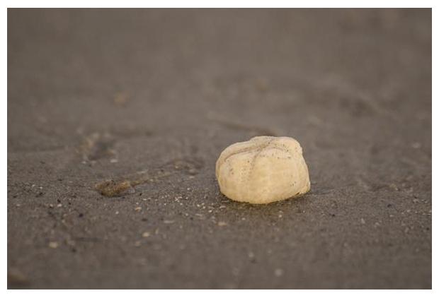 foto's, Zeeklit of Hartegel (Echinocardium cordatum), zee-egel