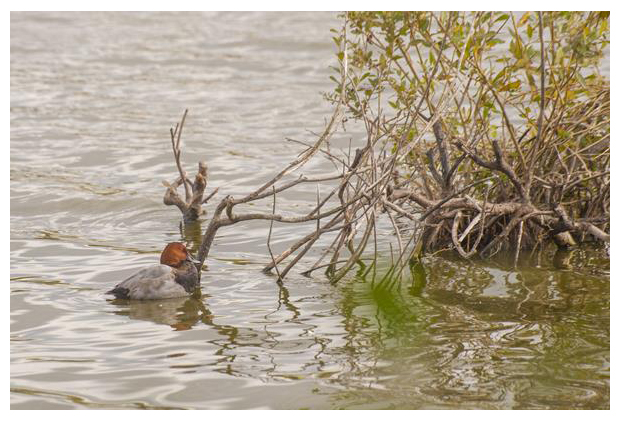 foto's, tafeleend (aythya ferina), eend
