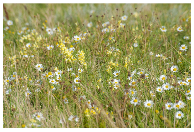 =foto's, Vlasbekje (Linaria vulgaris), plant