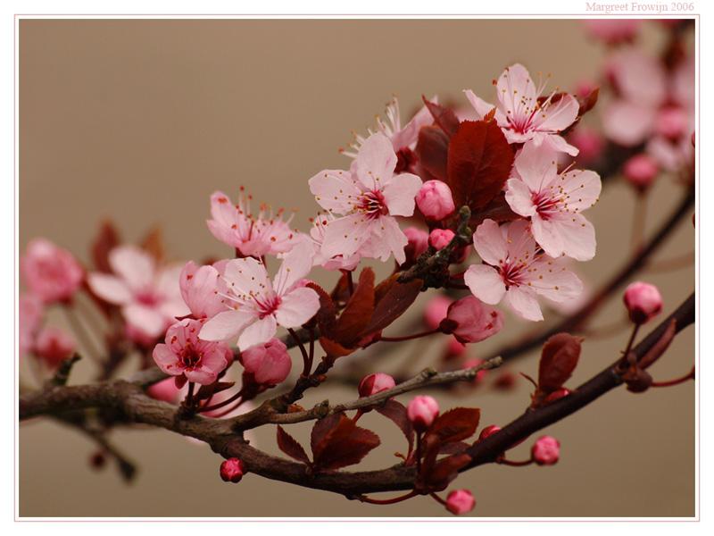 prunus, prunussen, bloesem, bloem, bloemen, bloemenwallpaper, bloemwallpaper, bloemwallpapers, bloemachtergrond, bloemachtergronden, bloemachtergrondje, bloemachtergrondjes, bloemenachtergrond, bloemenachtergronden, bloemenachtergrondje, bloemenachtergrondjes, free wallpaper, wallpapers, gratis achtergrond, achtergronden