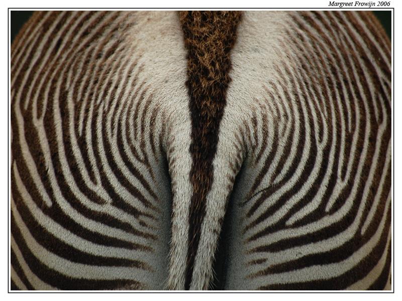 zebra, achterste,  beekse bergen, safaripark, zebrawallpaper, wild, wilde dieren, dier, dierenwallpaper, dierenwallpapers, dierenachtergrond, dierenachtergronden, dierenachtergrondje, dierenachtergrondjes, free wallpaper, wallpapers, gratis achtergrond, achtergronden
