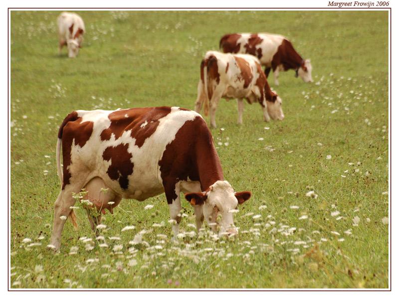 bruine koe, koeien, koewallpaper, koeienwallpaper,dieren, dier, dierenwallpaper, dierenwallpapers, dierenachtergrond, dierenachtergronden, dierenachtergrondje, dierenachtergrondjes, free wallpaper, wallpapers, gratis achtergrond, achtergronden