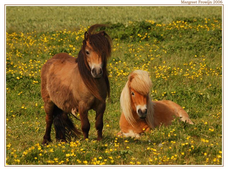paard,  paarden, paardenwallpaper, pony, pony´s, ponywallpaper, shetlander, shetlanders, dier, dieren, dierenwallpaper, dierenwallpapers, dierenachtergrond, dierenachtergronden, dierenachtergrondje, dierenachtergrondjes, free wallpaper, wallpapers, gratis achtergrond, achtergronden
