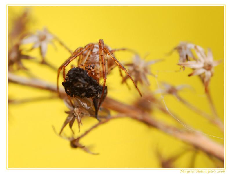 spin, spinnen, spinnetje, spinnetjes, spinnenwallpaper, spinnenwallpapers, spinnenachtergrond, spinnenachtergonden, spinnenachtergrondje, free wallpaper, wallpapers, gratis achtergrond, achtergronden
