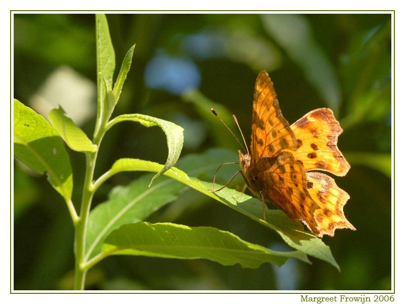 gehakkelde aurelia, vlinder, vlinders, vlinderwallpaper, free wallpaper, wallpapers, gratis achtergrond, achtergronden