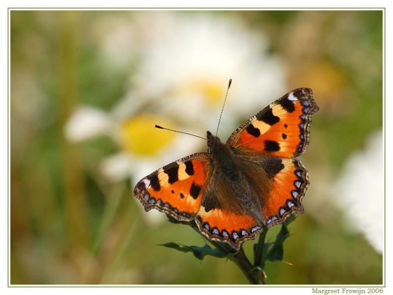 kleine vos,vlinder, vlinders, vlinderwallpaper, free wallpaper, wallpapers, gratis achtergrond, achtergronden