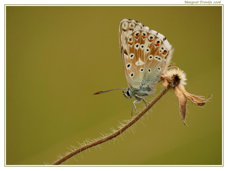 bleek blauwtje, vlinder, vlinders, vlinderwallpaper, free wallpaper, wallpapers, gratis achtergrond, achtergronden